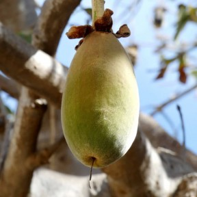 Плоды баобаба - мелкого помола - 250 грамм из Германии