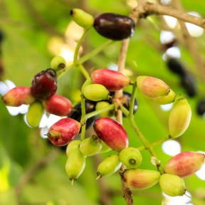 Семена ямболана - 100 грамм из Германии